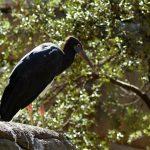 cigogne d' Abdim