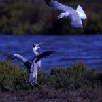 goéland leucophée  vs  héron cendré