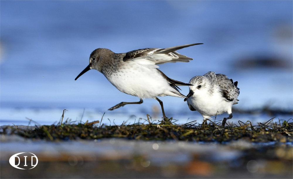 bécasseau sanderling vs bécasseau variable