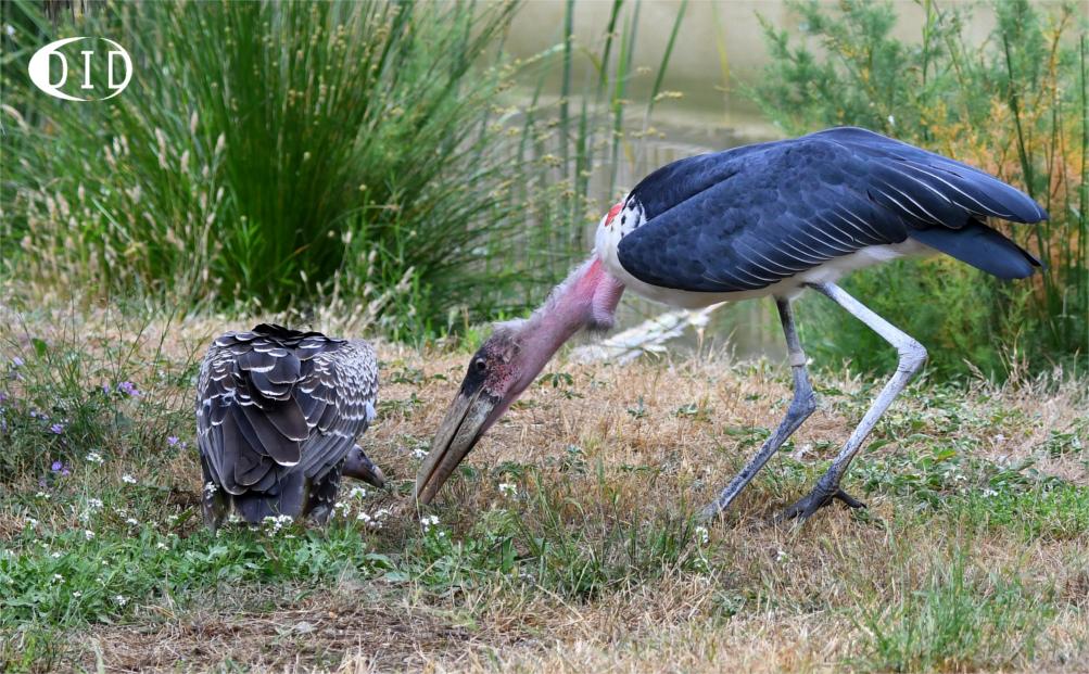 marabout vs vautour de Rüppell