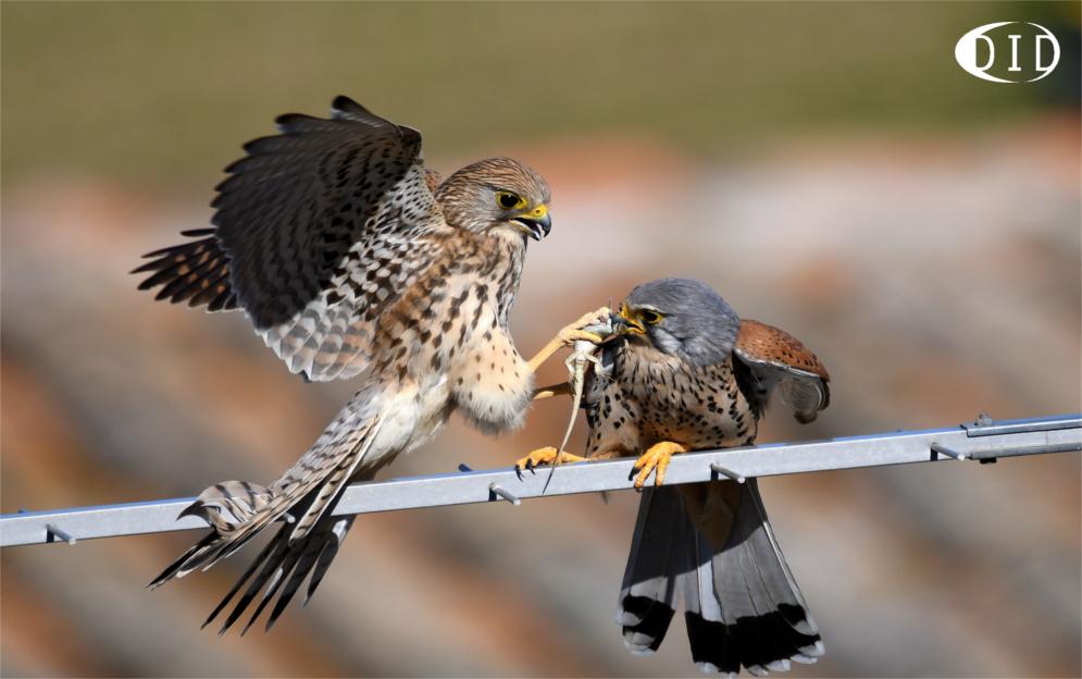 Faucons crécerelles (Falco tinnunculus) sédentaire
