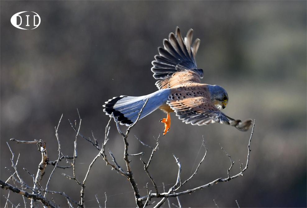 Faucon crécerelle (Falco tinnunculus) sédentaire