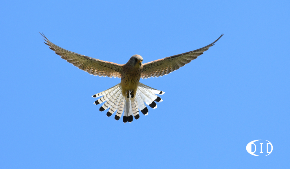 Faucon crécerelle femelle (Falco tinnunculus) sédentaire