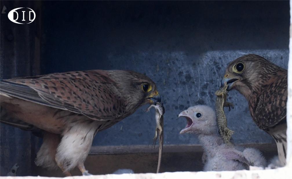 Faucons crécerelles au nid (Falco tinnunculus) sédentaires