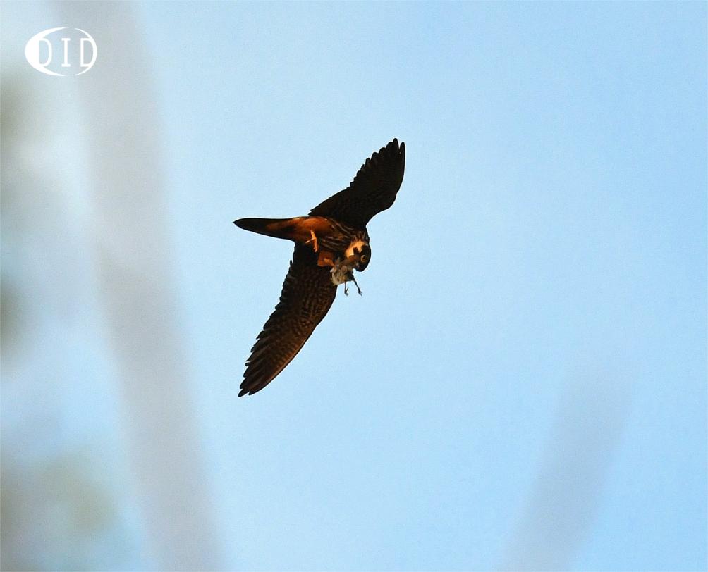 Faucon hobereau (Falco subbuteo) nicheur