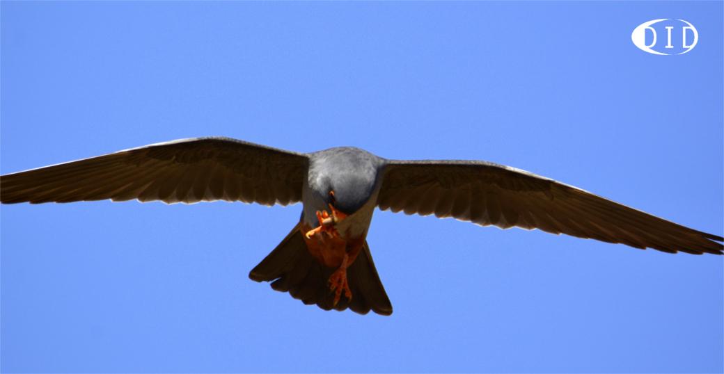 Faucon kobez (Falco vespertinus) de passage