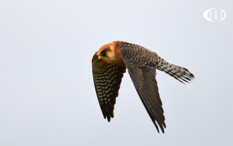 Faucon kobez femelle (Falco vespertinus) de passage