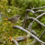 Fauvette pitchou femelle (Sylvia undata) sédentaire