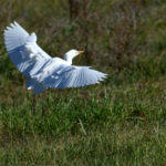 Héron gardeboeufs (Bubulcus ibis) de passage