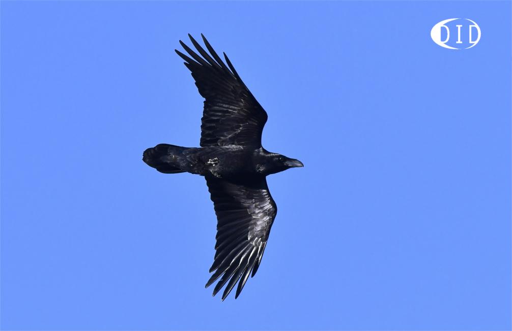 Grand Corbeau (Corvus corax) hivernant
