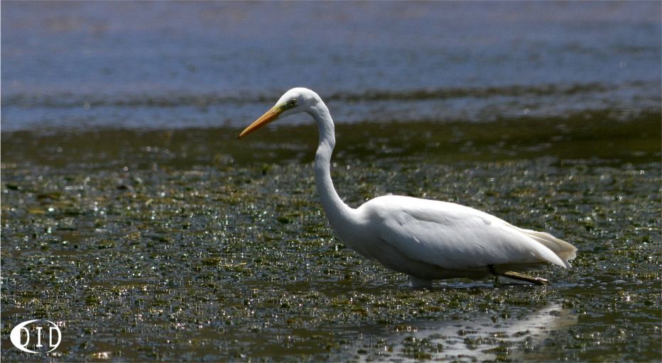 Grande Aigrette (Egretta alba) de passage