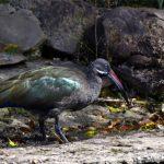 ibis hagedash