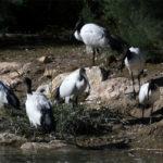 ibis sacrés