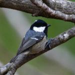 Mésange noire (Parus ater) hivernant