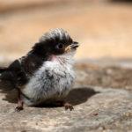 Mésange à longue queue nidifuge (Aegithalos caudatus) sédentaire