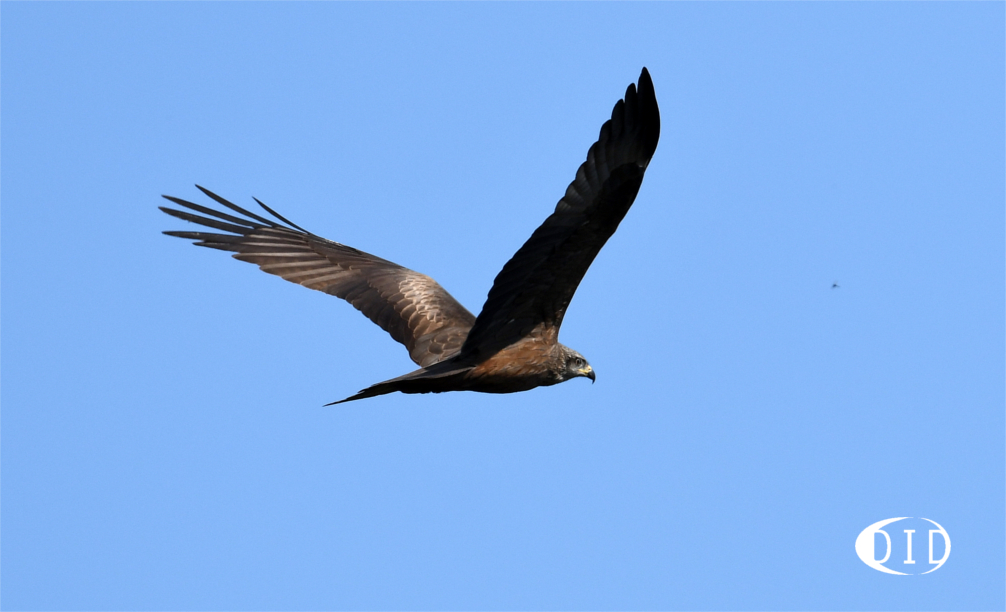 Milan noir (Milvus migrans) nicheur