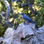 Monticole bleu juvénile (Monticola solitarius) sédentaire