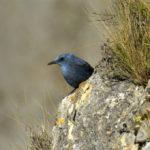 Monticole bleu (Monticola solitarius) sédentaire