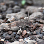 oedipode aiguemarine