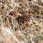 Perdrix rouge le poussin (Alectoris rufa) sédentaire