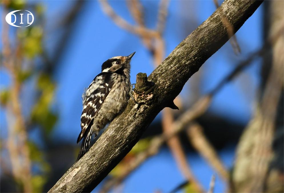 Pic épeichette femelle (Dendrocopos minor) sédentaire