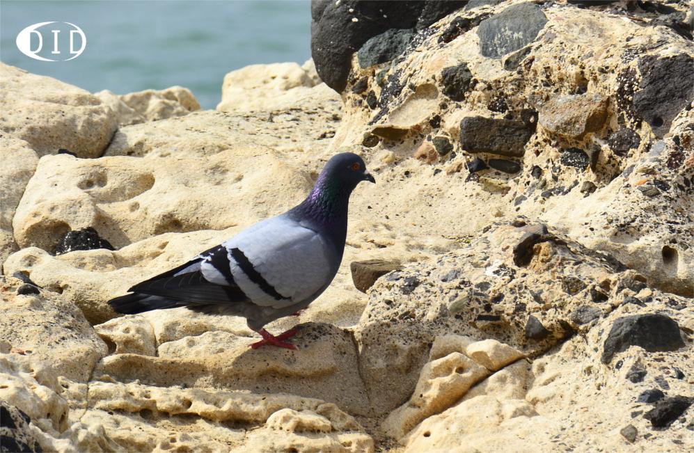 pigeon biset