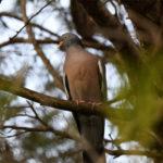 Pigeon ramier (Columba palumbus) sédentaire