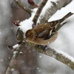 Pinson des arbres femelle (Fringilla coelebs) sédentaire