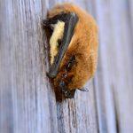 pipistrelle comune