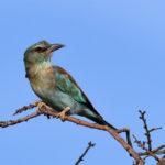 Rollier d'Europe (Coracias garrulus) nicheur