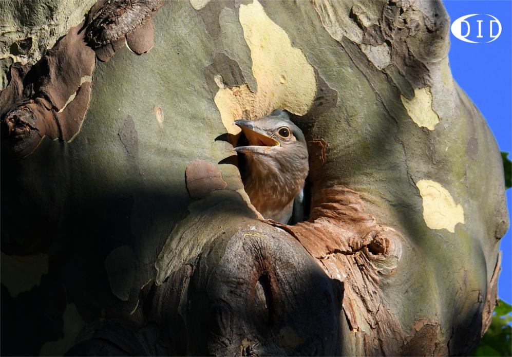 Rollier d'Europe juvénile (Coracias garrulus) nicheur