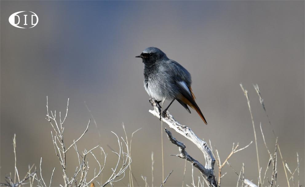 Rougequeue noir (Phoenicurus ochruros) sédentaire