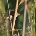 Rousserolle effarvate (Acrocephalus scirpaceus) nicheur