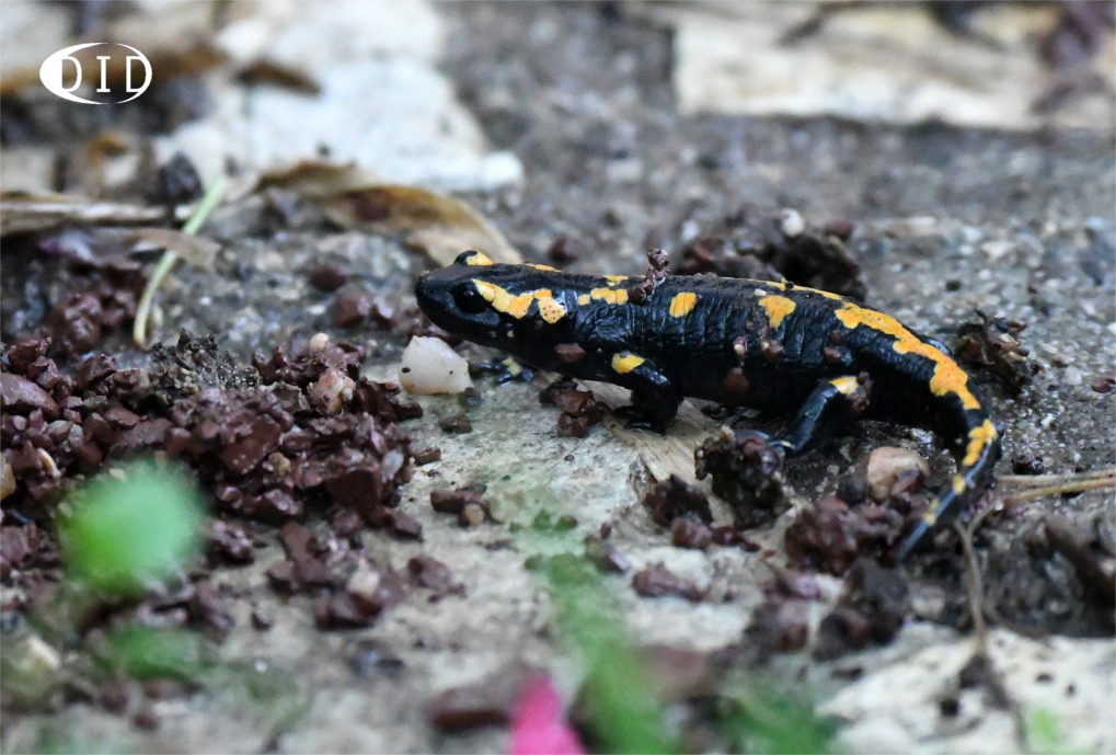 salamandre tachetée juvénile