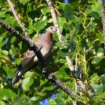 Tourterelle des bois (Streptopelia turtur) nicheur