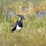 Vanneau huppé (Vanellus vanellus) de passage