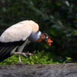 vautour pape