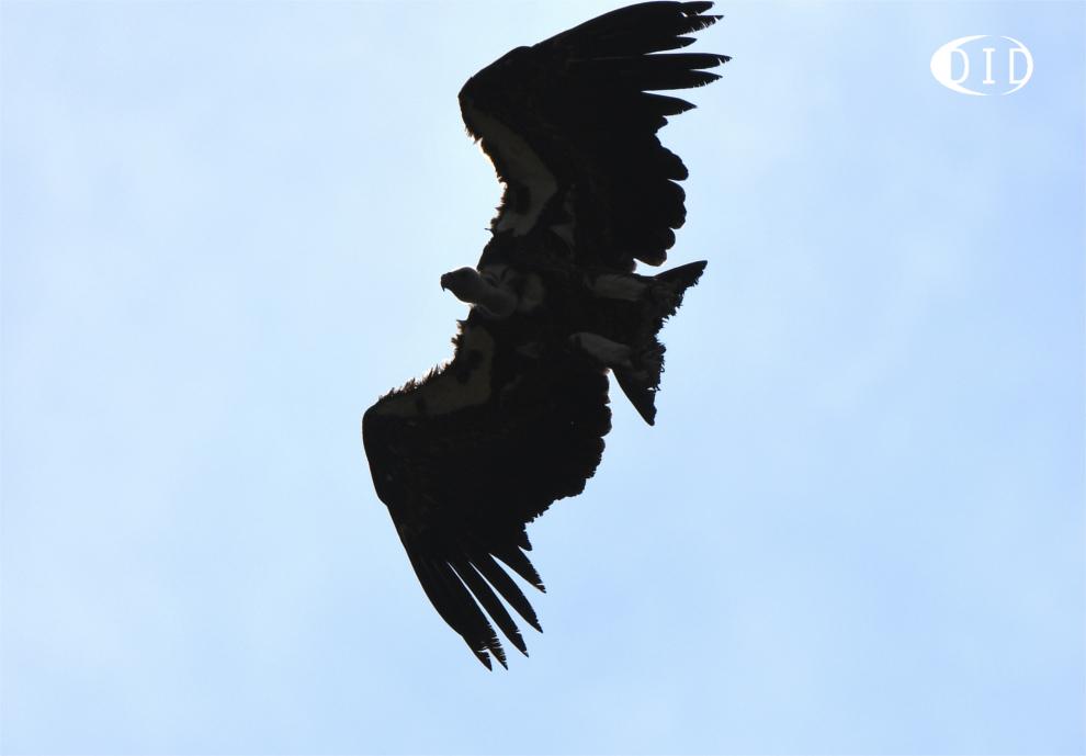 vautour de Rüppell
